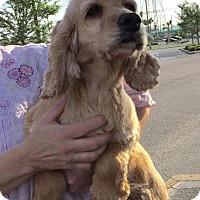 Adopt A Pet :: Angel - St. Petersburg, FL