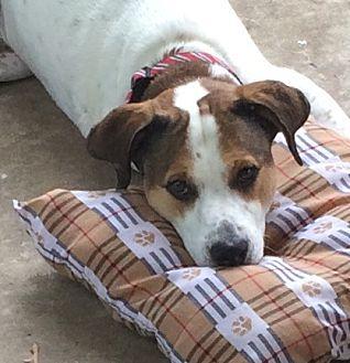 Pointer/Hound (Unknown Type) Mix Dog for adoption in O'Fallon, Missouri - Texas Ranger