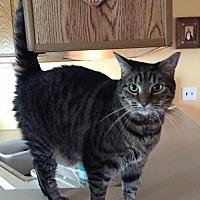 Domestic Shorthair Cat for adoption in Trexlertown, Pennsylvania - Hudson and Xena*