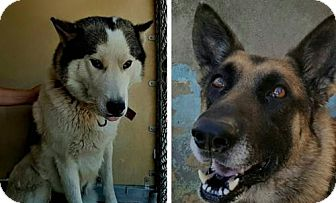Siberian Husky/German Shepherd Dog Mix Dog for adoption in Matawan, New Jersey - Gulliver & Juno