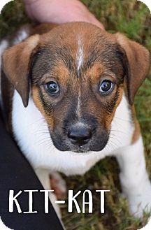 Beagle Mix Puppy for adoption in DFW, Texas - Kit-Kat