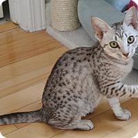 Adopt A Pet :: Kasha - Davis, CA