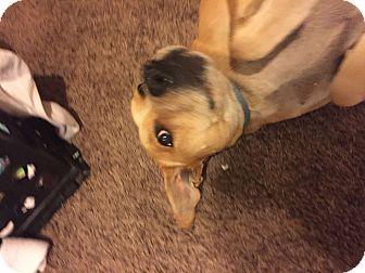 American Pit Bull Terrier/Labrador Retriever Mix Dog for adoption in Mesa, Arizona - Ducky