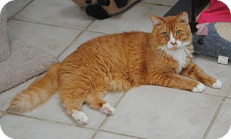 Domestic Mediumhair Cat for adoption in Middletown, New York - Sunscreen