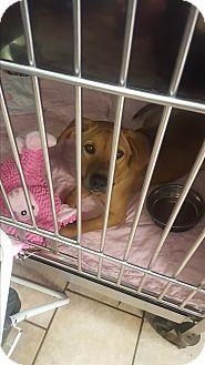 Labrador Retriever Mix Dog for adoption in St. Charles, Missouri - Sandie