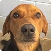 Adopt A Pet :: Louie - Springdale, AR