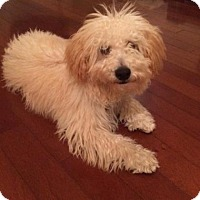 Miniature Poodle Mix Puppy for adoption in Scottsdale, Arizona - Ollee