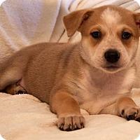 Adopt A Pet :: Katie Scarlett - Savannah, GA