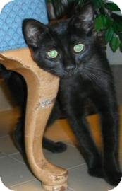 Domestic Shorthair Kitten for adoption in Jackson, Michigan - Wednesday