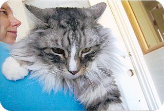 Maine Coon Cat for adoption in Davis, California - Maverick