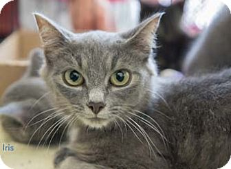Domestic Shorthair Cat for adoption in Merrifield, Virginia - Iris