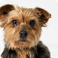 Adopt A Pet :: Juliette - Colorado Springs, CO