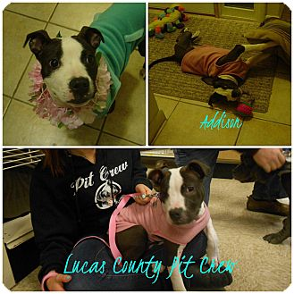 American Pit Bull Terrier/Terrier (Unknown Type, Medium) Mix Puppy for adoption in Toledo, Ohio - Addison