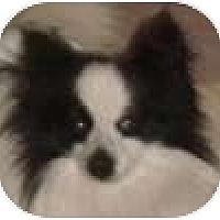 Adopt A Pet :: Poppy - Hamilton, ON