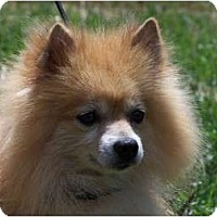 Adopt A Pet :: KODY - Hesperus, CO