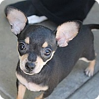Adopt A Pet :: Tiny Binky - La Habra Heights, CA
