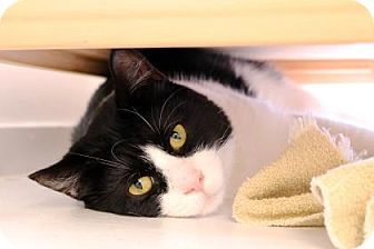 Domestic Shorthair Cat for adoption in Bellevue, Washington - Tank
