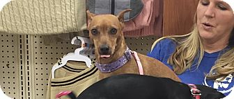 Miniature Pinscher Mix Dog for adoption in Rochester, Minnesota - Dolly