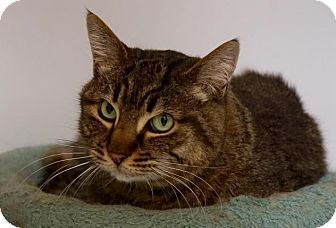 Domestic Shorthair Cat for adoption in Scituate, Massachusetts - PJ