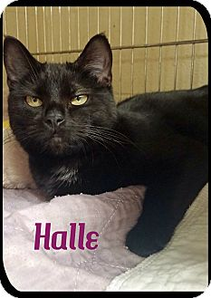 Domestic Shorthair Cat for adoption in Euclid, Ohio - Halle