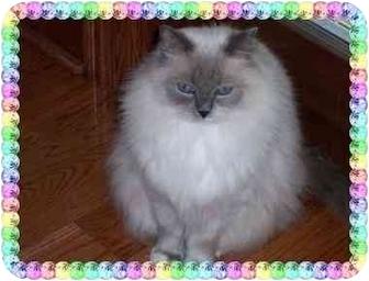 Ragdoll Cat for adoption in KANSAS, Missouri - Kaeli