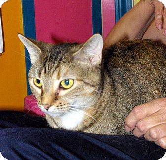 Domestic Shorthair Cat for adoption in Mobile, Alabama - Spice