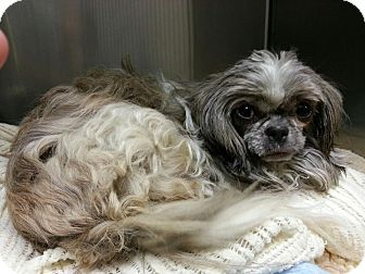Shih Tzu Dog for adoption in Oak Ridge, New Jersey - Tommy Girl
