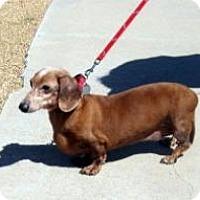 Adopt A Pet :: Bella - Chandler, AZ