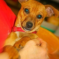 Chihuahua/Dachshund Mix Dog for adoption in Crosbyton, Texas - Pee Wee