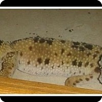 Gecko for adoption in Warwick, Rhode Island - Lucy