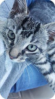 Domestic Shorthair Cat for adoption in Livonia, Michigan - Pierce