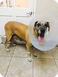 Great Dane Dog for adoption in Newport Beach, California - Lizzie