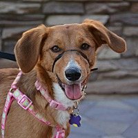 Australian Shepherd/Coonhound Mix Dog for adoption in Phoenix, Arizona - Clementine