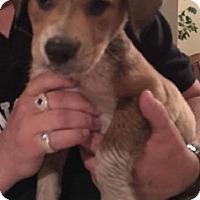 Adopt A Pet :: Puppy Moe - Austin, TX