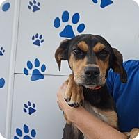 Adopt A Pet :: Pumpkin - Oviedo, FL