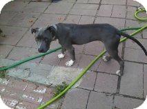 Weimaraner/American Bulldog Mix Puppy for adoption in Alliance, Nebraska - Junior