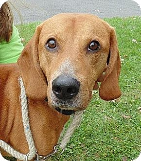Labrador Retriever Mix Dog for adoption in Capon Bridge, West Virginia - Tigger