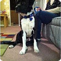 Adopt A Pet :: Duke - Auburn, CA