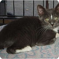 Adopt A Pet :: Grey kitten - Westfield, MA