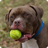 Adopt A Pet :: Simon - Willington, CT