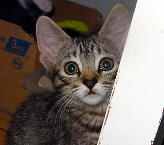 Domestic Shorthair Kitten for adoption in Palm City, Florida - Lacey