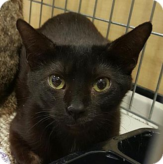 Havana Brown Cat for adoption in Lyons, Illinois - Chilli