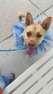 German Shepherd Dog Mix Puppy for adoption in Seattle, Washington - Nala