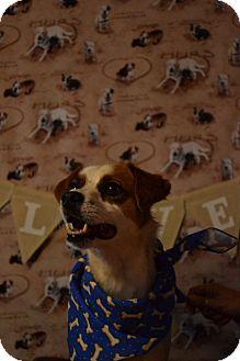 Chihuahua Mix Dog for adoption in Okeechobee, Florida - Poppy
