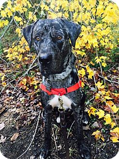 Catahoula Leopard Dog Mix Dog for adoption in Warren, Maine - Claude - MA