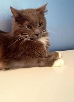 Domestic Mediumhair Cat for adoption in Mount Pleasant, South Carolina - Strel
