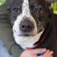 Catahoula Leopard Dog/Labrador Retriever Mix Dog for adoption in South Amana, Iowa - Zeek