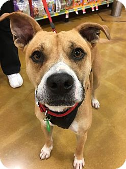 Pit Bull Terrier/Labrador Retriever Mix Dog for adoption in Sugar Grove, Illinois - Joel