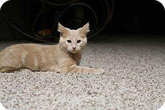 Domestic Shorthair Cat for adoption in Rochester, Minnesota - Washington