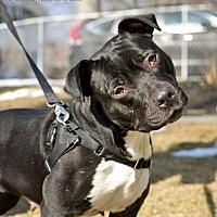 Adopt A Pet :: Haley - Worcester, MA